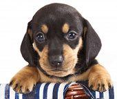 dachshund puppy  purebred poster
