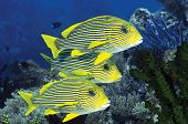 Yellow ribbon sweetlips