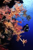 Soft corals and scuba diver