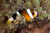 Clark's anemonefish in his colorful host sea anemone.