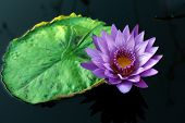 Tropical day-flowering waterlily