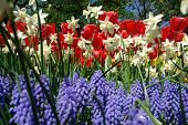 Spring flowers in Keukenhof gardens, the Netherlands