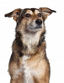 Close-up of Mixed-breed dog, 4 years old, in front of white background