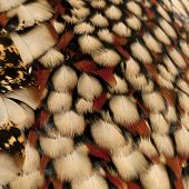 Close-up of Cabot's Tragopan feathers, Tragopan caboti