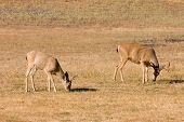 picture of blacktail  - pair of California Blacktail bucks eating grass - JPG