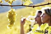 Close-up of bunch of green grapes hanging from vine in vineyard with blurred woman and man (couple)