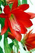 Blossom of Christmas Cactus
