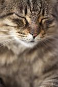 Portrait Of Tabby Cat Purrs. Close Up poster