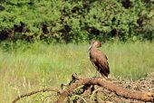 Wild hamerkop bird