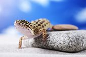 picture of hemidactylus  - Leopard Gecko on sand in natural environment - JPG