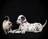 Dalmatia Trying To Make A Friend