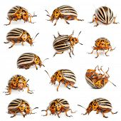 image of potato bug  - Composition of Colorado potato beetles - JPG