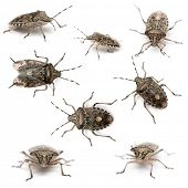 Composition of European stink bugs, Rhaphigaster nebulosa, in front of white background