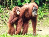 Sumatrian orangutan female and cub