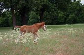 Foal Walking In Wildflowers