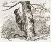 Rufous-tailed Xenops old illustration (Xenops milleri). Created by Kretschmer, published on Merveilles de la Nature, Bailliere et fils, Paris, ca. 1878