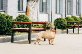 Leashed Purebred French Bulldog Standing Near Wooden Benches poster