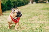 Cute Purebred French Bulldog Wearing Red Scarf And Standing On Green Grass poster