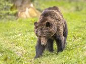 Moving European Brown Bear ((ursus Arctos) Is The Most Widely Distributed Bear And Is Found Across M poster
