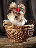 biewer-york puppy