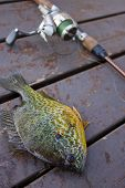 image of bluegill  - Hooked bluegill lying on a dock, shallow depth of field