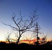 Crooked Tree Straight Tree, At Twilight