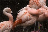 Pink Chilean Flamings And Feathers