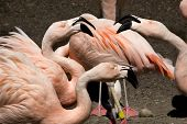 Here\'S Talking About It  Pink Chilean Flamingos Gossiping