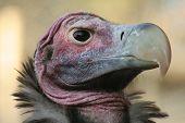 Lappit-Faced Vulture