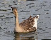 African Goose