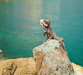 Iguana In St. Thomas, Caribbean