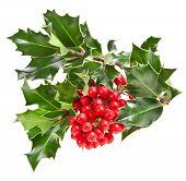 Zweig der Europäischen Stechpalme Ilex Weihnachtsdekoration isoliert auf weißem Hintergrund
