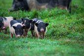 picture of pot bellied pig  - vietnam pig - JPG