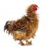 Side view of Crossbreed rooster, Pekin and Wyandotte, against white background