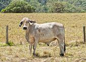 Junge grau Brahma Kuh auf Rinderfarm