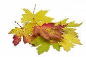 Autumn maple leaves on white background