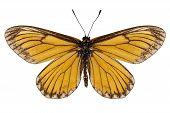 Butterfly Species Acraea Issoria
