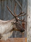 picture of caribou  - Caribou head with nice antler close up a