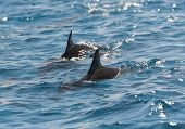Spinner Dolphins Surfacing In A Lagoon