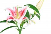 stock photo of asiatic lily  - bouquet of beautiful scented lilies isolated on white - JPG