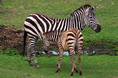 Zebra With Foal