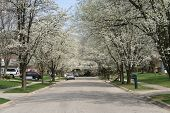 picture of tree lined street  - bradford pear trees in bloom at street - JPG