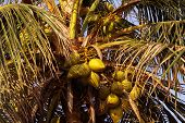 pic of naturist  - Zoomed shot of Tropical Coconut Tree top - JPG