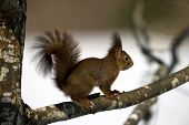 The Red Squirrel (Sciurus vulgaris) In The Oak