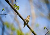 stock photo of nightingale  - Singing nightingale on tree branch in a spring wood - JPG