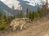 Wolf In Rocky Mountains