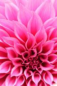 Abstract Closeup Of Magenta Dahlia Flower With Decorative Petals