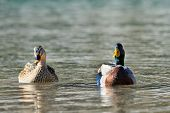 wild mallard ducks on the river (aythya ferina)