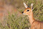 Steenbok Standing In Scrub In Kalahari