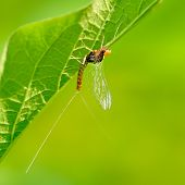 stock photo of mayfly  - closeup of mayfly  - JPG